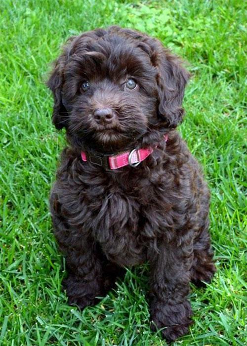 puppy-labradoodle-1