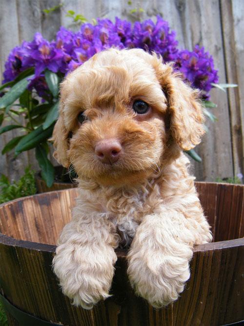 puppy-labradoodle-10