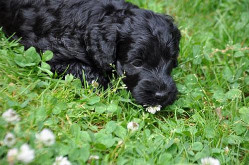puppy-labradoodle-11
