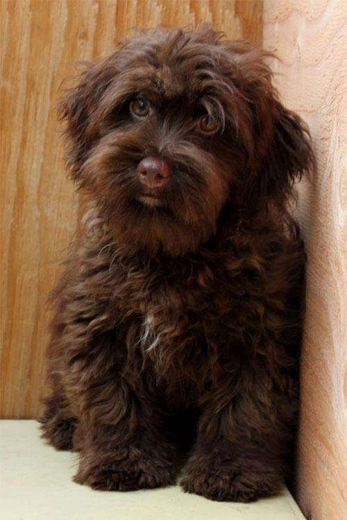 puppy-labradoodle-12