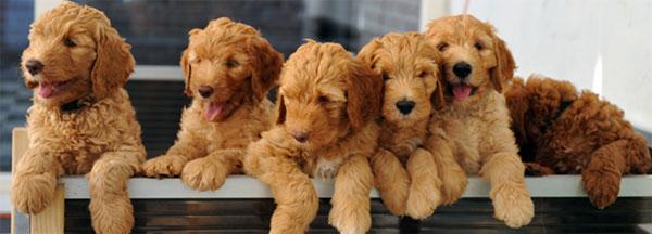 puppy-labradoodle-13