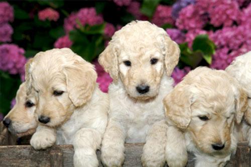 puppy-labradoodle-14