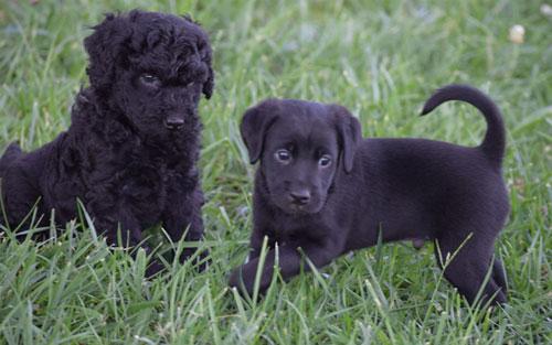 puppy-labradoodle-15