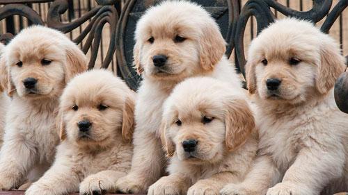 puppy-labradoodle-16