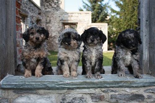 puppy-labradoodle-17