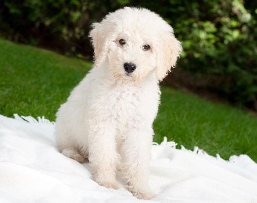 puppy-labradoodle-18