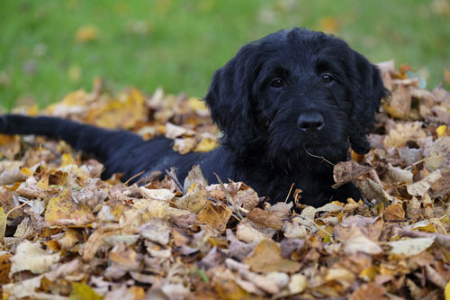 puppy-labradoodle-19