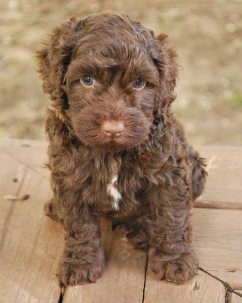 puppy-labradoodle-2
