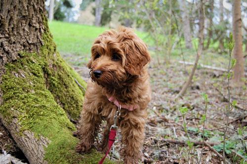 puppy-labradoodle-21