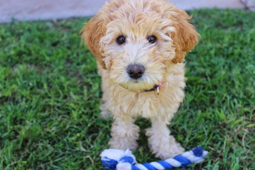 puppy-labradoodle-22