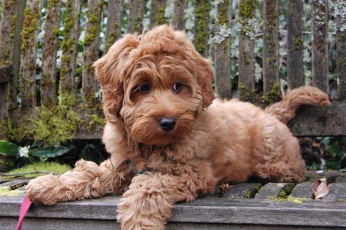 puppy-labradoodle-23
