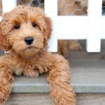 puppy-labradoodle-24