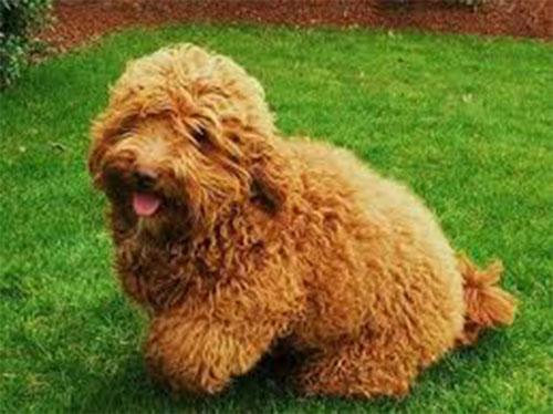 puppy-labradoodle-4