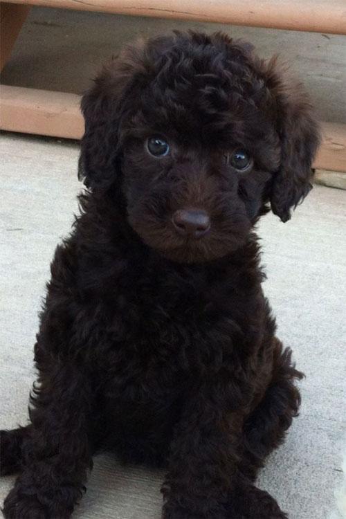 puppy-labradoodle-5