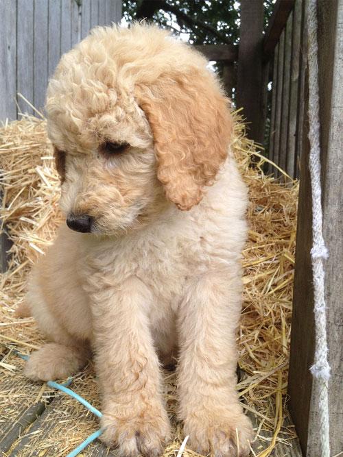 puppy-labradoodle-6