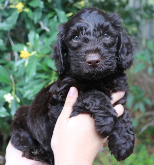 puppy-labradoodle-7