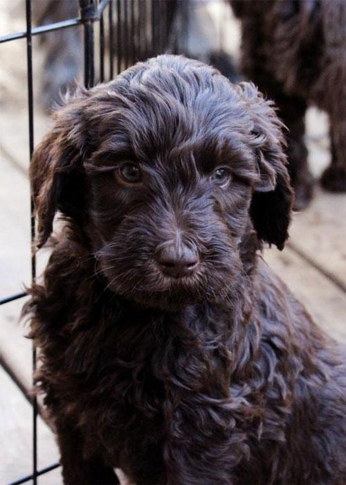 puppy-labradoodle-8