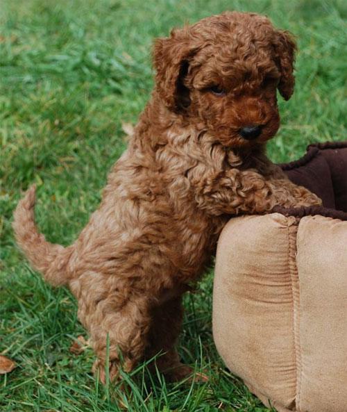 puppy-labradoodle-9