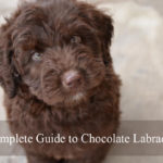 chocolate-labradoodle-complete-guide