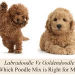 labradoodle-vs-goldendoodle-poodle-breed
