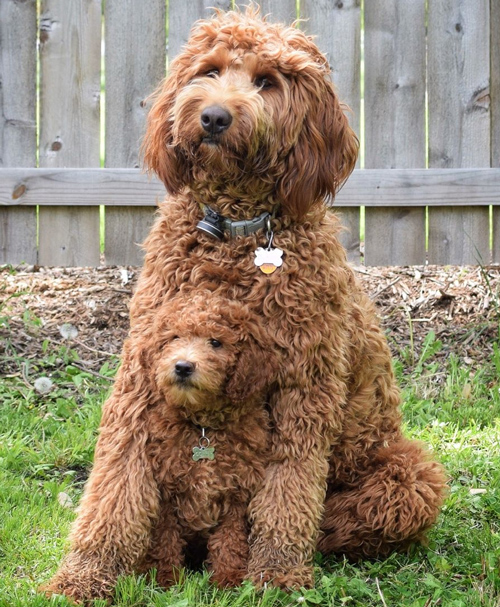 Teacup Labradoodle - Labradoodles & Dogs