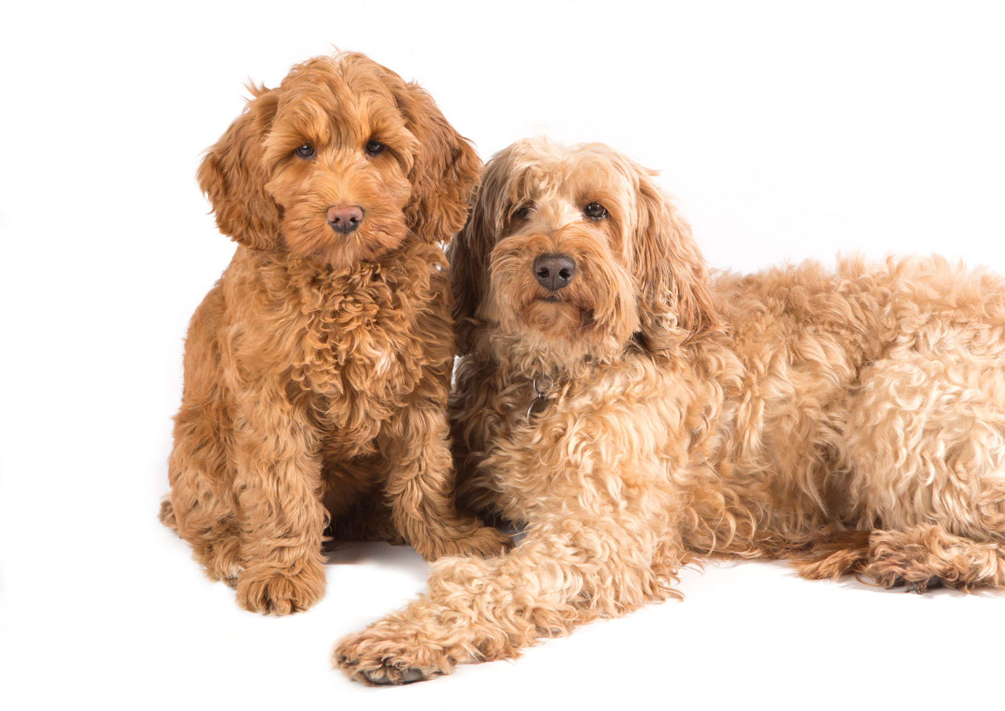 How Big Do Labradoodles Get Ultimate Labradoodle Size Guide