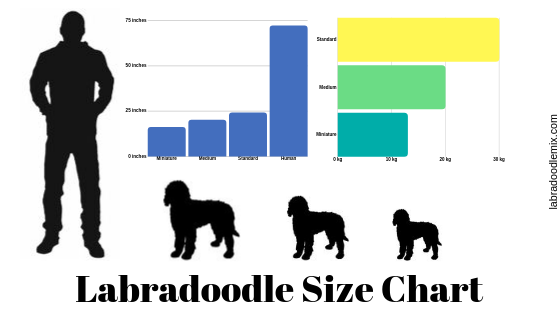 labradoodle size chart