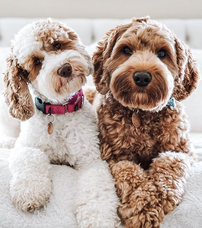 Australian Labradoodles Vs Labradoodles What Is The