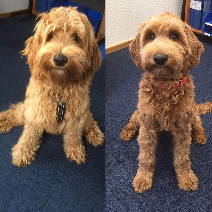 The Ultimate Labradoodle Haircut Guide - Labradoodles & Dogs