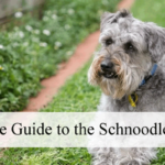 schnoodle-dog-breed